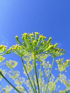 Dill Umbel Blossom by BCharmer, via Flickr