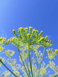Dill Umbel Blossom by BCharmer, via Flickr
