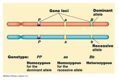 chromosome allele
