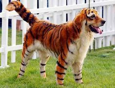 "Okay, so I want to get an all white dog (Labrador) and make me a ""Bengal-A-Dore"""