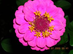 """Zinnias """"perfusion"""" I have [Yes Deadhead to the next leaf] bot 5/25/16 Aldi $6 hanger: How to Plant, Grow, and Care as per Farmers Almanac."""