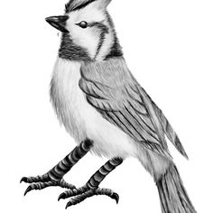 Bridled Titmouse, for sale in my shop, Redbubble.