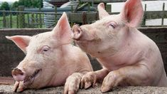 http://timcalkins.com/wp-content/uploads/2016/08/Pigs-2.jpg