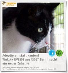 Wutzkys Besitzer waren von dem dominanten Kater überfordert und gaben ihn im Tierheim Berlin ab.  http://www.tierheimhelden.de/katze/tierheim-berlin/ekh/wutzky_153202/10314-1/  Wutzky ist dabei nur in unklaren Situationen schreckhaft und knurrt. Wenn es ruhig ist, kommt er auch zumSchmusen und ist lieb. Für ihn wird ein Zuhause ohne Kinder und mit Freigang gesucht.