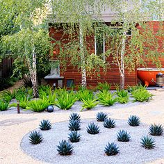 Asparagus ferns and Agave 'Blue Glow' planted in circular beds