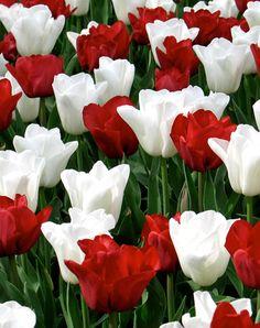 Flower Bulbs R Us | Retail Bulbs at a Bulk Price