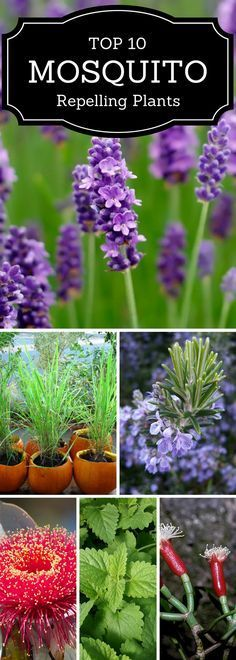 Keep mosquitoes away from as you enjoy your yard and patio by having these mosquito repellent plants in your garden!