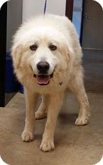 8/9/15 Irving, TX - Great Pyrenees. Meet Sully, a dog for adoption. http://www.adoptapet.com/pet/13579841-irving-texas-great-pyrenees
