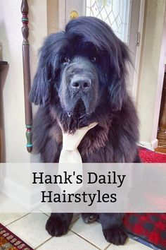 Meet Hank! The Newfie With A New Hairstyle Every Single Day. Hank's owner is supplying a daily dose of cuteness by giving him a new fluffy hairstyle every day! #cutedogs #newfoundlanddog #smiles #doghair