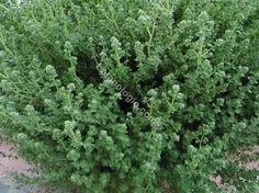 Greek oregano just before flowering period. Πλούσια καλλιεργημένη ρίγανη πριν την ανθοφορία.
