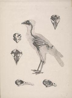 Bird skeleton. Die vergleichende Osteologie Bonn :In Commission bei Eduard Weber,1821-1838.