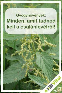 Minden, amit tudnod kell a csalánlevélről! Vertigo, Herbs, Health, Garden, Garten, Health Care, Lawn And Garden, Herb, Gardens