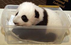 Such a Sweeeeeeeeeeeet Baby Panda!