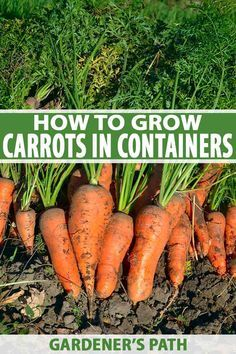 You can grow carrots even without a garden. Today's sweet and delicious shorte. - You can grow carrots even without a garden. Today's sweet and delicious shorter varieties are per - Container Gardening Vegetables, Container Plants, Vegetable Gardening, Growing Vegetables In Containers, Succulent Containers, Container Flowers, Fresh Vegetables, Succulents, Veggies