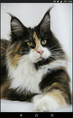 I love Maine Coons! Such beautiful cats.