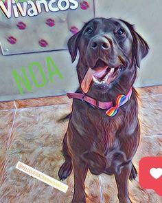 """Peluquería Canina Vivancos on Instagram: """"Nuestra querida Noa, Preciosa labradora negra que cada vez que viene a bañarse y quitarse pelo muerto, nos llena de energía y amor con su…"""" Dogs, Animals, Instagram, Amor, Black Labs, Hair, Animales, Animaux, Pet Dogs"""