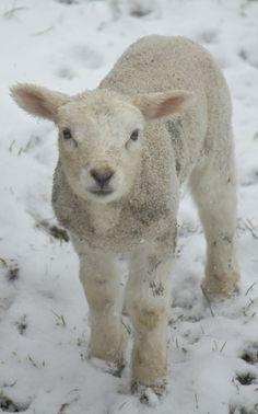 sheep 9p