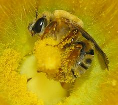 honeybee in a yellow flower full of pollen