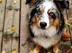 """Blue Merle Australian Shepherd with the classic """"glass eyes"""" that are a trademark look. Beautiful and loyal dogs. Australian Shepherd Puppies, Aussie Dogs, Australian Shepherd Dogs, Aussie Shepherd, Mini Aussie, Beautiful Dogs, Animals Beautiful, Cute Animals, Gorgeous Eyes"""
