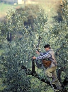This photo shows how olives are still hand picked today.....