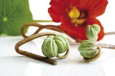 Seed Schiffe der Kapuzinerkresse (Tropaeolum majus) , close-up Korn, Pesto, Seeds, Stuffed Peppers, Vegetables, Cooking, Health, Flowers, Fitness