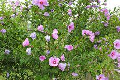 Hibiskus Garden, Plants, Hibiscus, Peach, Kuchen, Garten, Lawn And Garden, Flora, Gardening