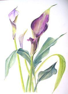 calla lilies drawing | Calla Lilies (watercolor)