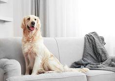Todos los que tienen un perro tienen una cosa en común: lo aman como a uno más de la familia pero detestan los pelos que suelta. ¿Cómo quitarlos de casa?