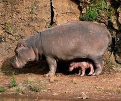 Mom hippopotamus and baby