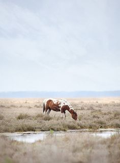 Wild Horse - Assateague Island - Flickr (Patrick Hayes)