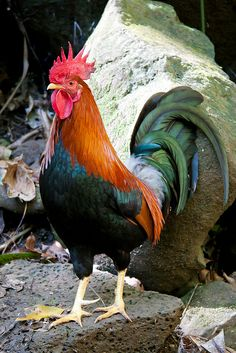 Wild Rooster (Kauai) You Can Do It 2. http://www.zazzle.com/posters?rf=238594074174686702