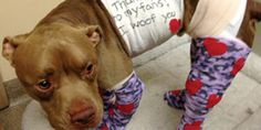 Pit Bull Strapped With Fireworks Makes Remarkable Recovery
