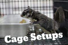 Different options for setting up a pet sugarglider cage. Thinking about owning a pet sugarglider? Might be worth your read.