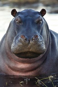 Hippo in the Khwai River in Botswana in Southern Africa Cute Hippo, Baby Hippo, African Animals, African Safari, Beautiful Creatures, Animals Beautiful, Reptiles, Mammals, Animals And Pets