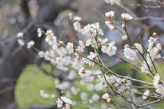 白梅 - white plum #garden