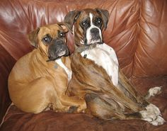 This is how my Boxer sits on our couch