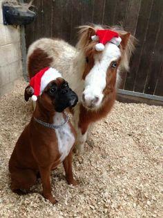 poney et boxer de Noël