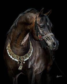 PA Kid Khan (Sundance Kid V x Kharrea PGA by Khadraj NA) 2009 black bay stallion bred by Palmetto Arabians, South Carolina