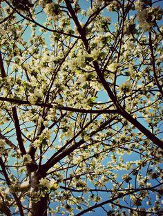 Blossoms on trees :) (renfehr.wordpress.com)