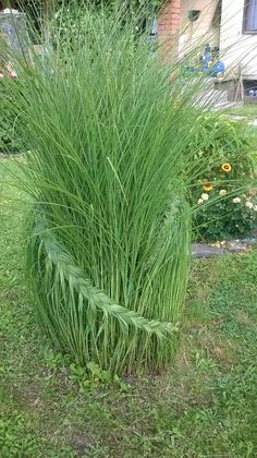 This is really neat! Braid pampas grass for a neat garden landscape idea!