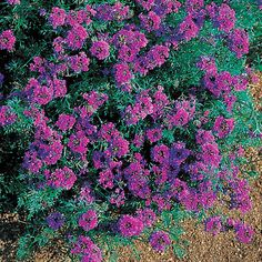 Imagination Verbena.  Planted the seeds and then forgot about it until it bloomed.  very healthy plant.
