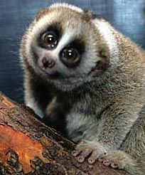 loris- i would love to pet one...i love these animals