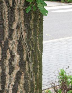 Eichen-Prozessionsspinner