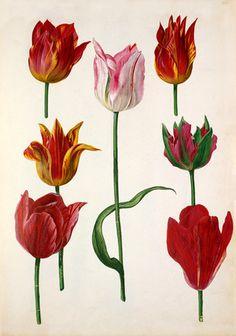 Watercolour on paper of Tulipa cultivars from 'Verzameling van Bloemen naar de Natuur geteekend door' (Collection of flowers drawn from nature) by Pieter van Kouwenhoorn. Creator. Kouwenhoorn, Pieter van fl.1620s-1630s ( Artist). Date: c.1630
