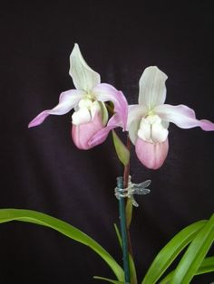 Phrag Charlie Hanson - Slippertalk Orchid Forum- The best slipper orchid forum for paph, phrag and other lady slipper orchid discussion!