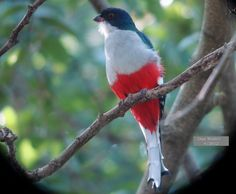 The Cuban Trogan is Cuba's national bird in the red, white and blue of the country's flag with its distinctively-flared tail feathers. (photo 4/2012 by Dan Wade)