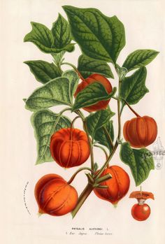 Louis van Houtte Flore des Serres 1858 Vegetable Illustration, Plant Illustration, Botanical Illustration, Antique Illustration, Floral Illustrations, Botanical Drawings, Botanical Prints, Garden Labels, Nature Prints