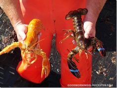Rare Yellow Lobster and Other Mutant Lobsters We've Documented Down Here At Captain Joe and Sons Over The Years
