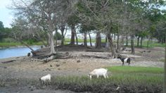 Goat Island in Murrells Inlet, SC. There are peacocks there with the goats as well. They are placed on the island every summer