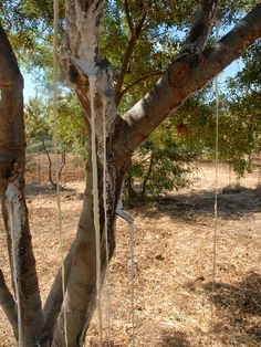 5 - Manna flowing out of the ash tree.JPG